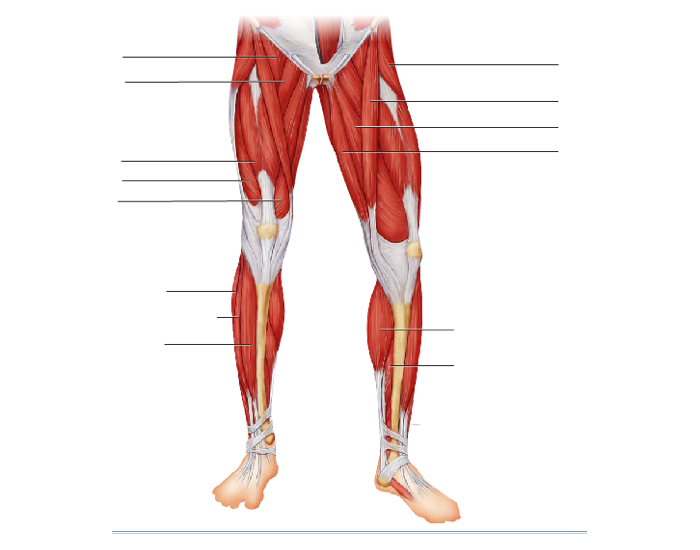 Anatomy of lower limb muscles