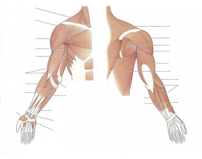Upper Arm Muscles – images free download - ANAT 208 Study Guide ...