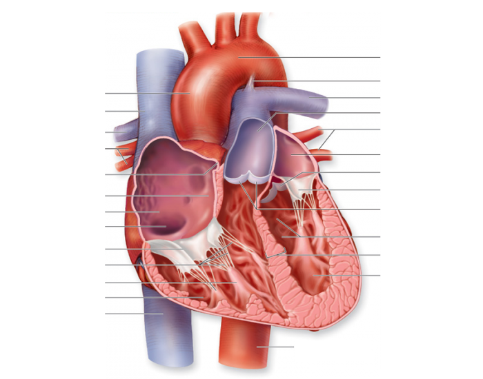 Frontal Section Of Human Heart Purposegames