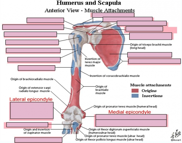 Humerus and Scapula - Anterior Muscle Attachments