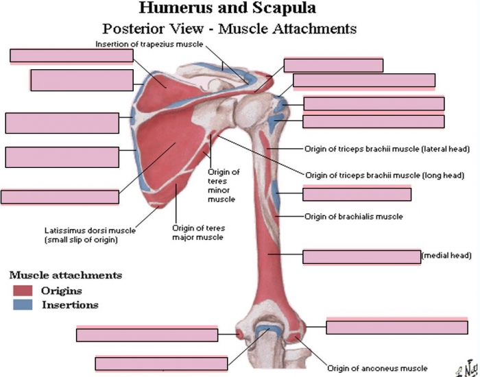 Humerus and Scapula - Posterior Muscle Attachments