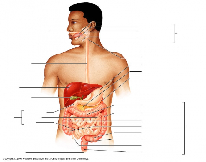 Alimentary Canal And Accessory Organs Purposegames