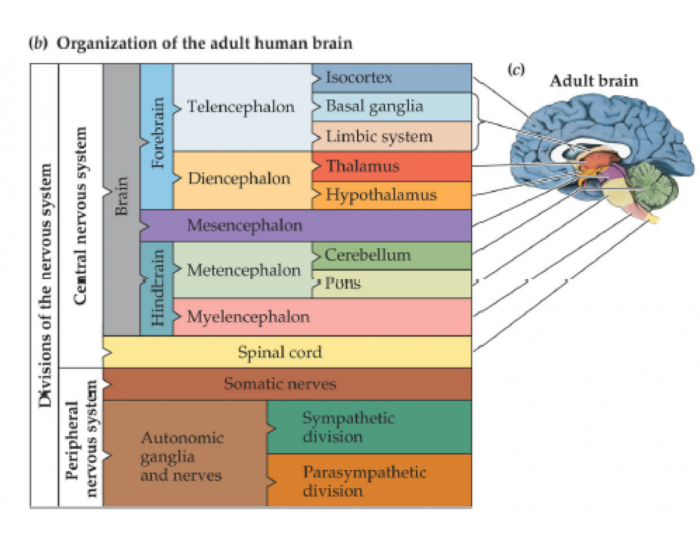 4 Main Parts of the Brain and Their Functions Explained