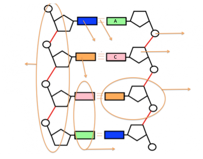 3.3.5 DNA structure