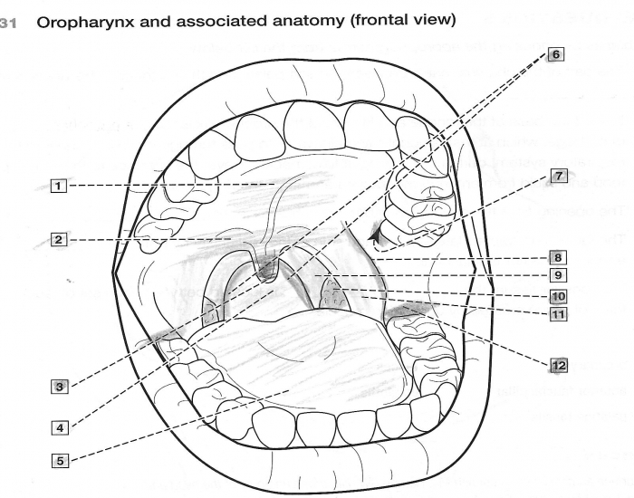 Oropharynx and associated anatomy - PurposeGames