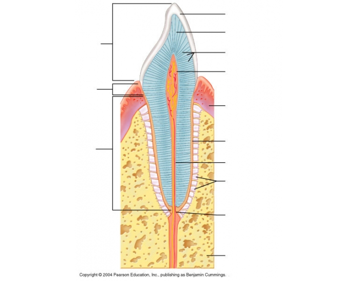 longitudinal section of a canine tooth
