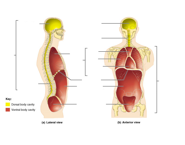 Dorsal and Ventral Body Cavities & Subdivisions