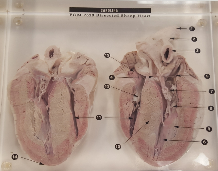 Bissected Sheep Heart Matching