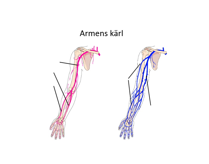 Blood Vessels Of The Arm