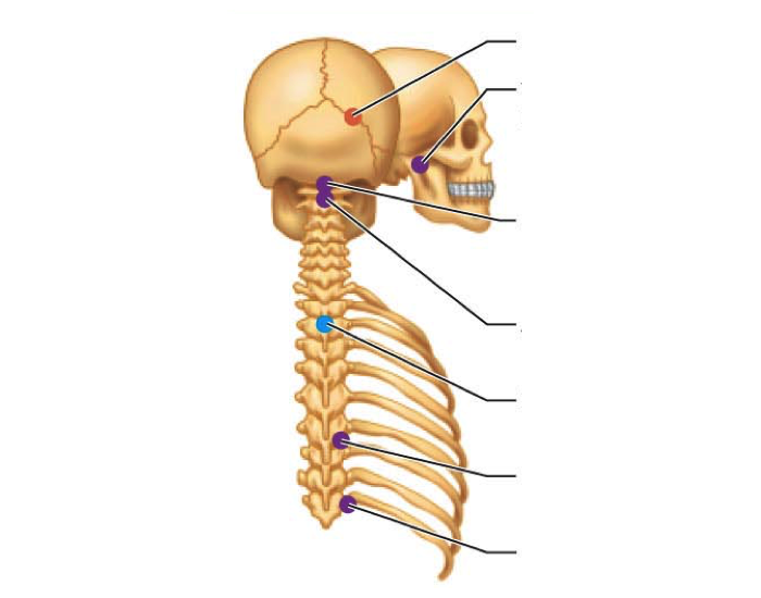 Skull and Spine Joints: Names and Characteristics - PurposeGames