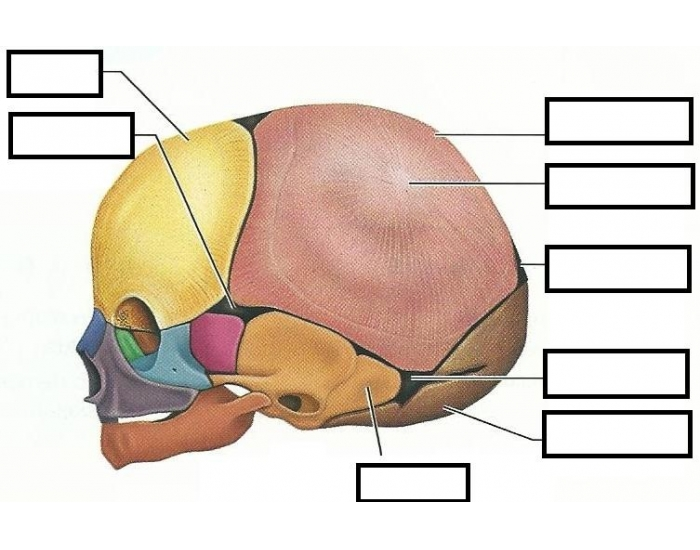 Bones are in the adult human body