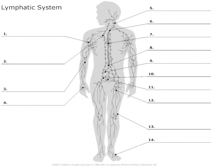 Label the Lymphatic system - PurposeGames