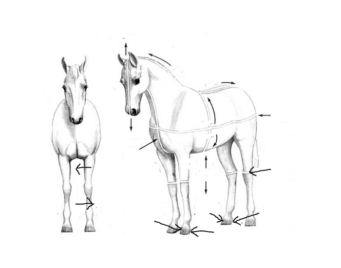 Anatomical Planes and Directions - Horse - PurposeGames