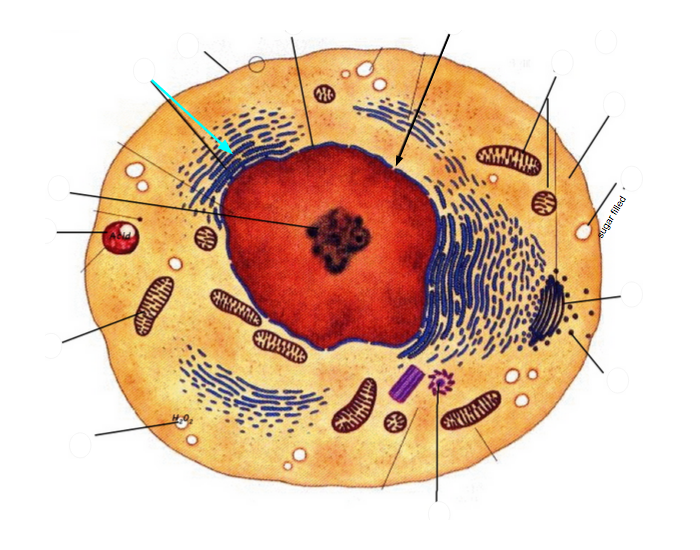urinary cell diagram cell diagram games typical animal cell anatomy - purposegames #10