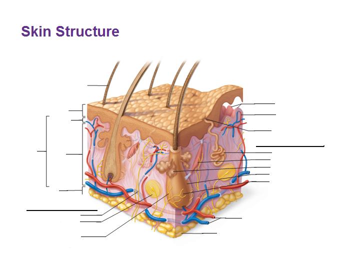 Skin Structure Diagram Blank - Auto Electrical Wiring Diagram •