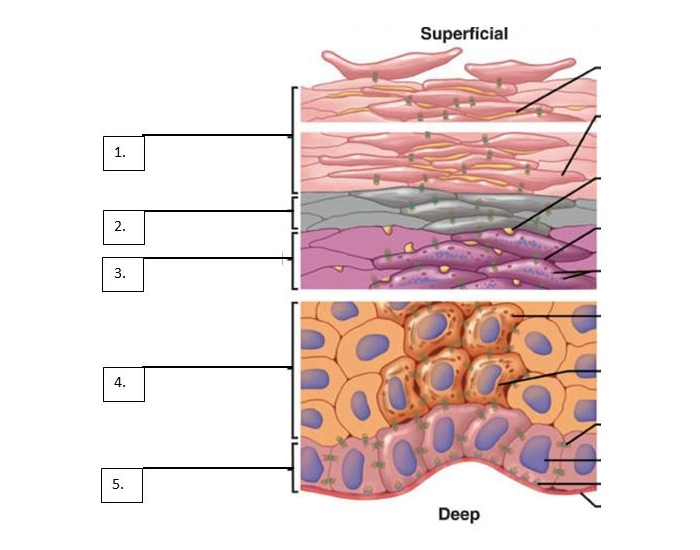 essay questions on the integumentary system