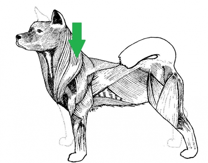 247647 major muscles of a dog purposegames