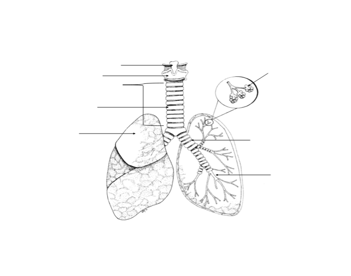 label the parts of the lower respiratory system purposegames Skin Diagram Labeled