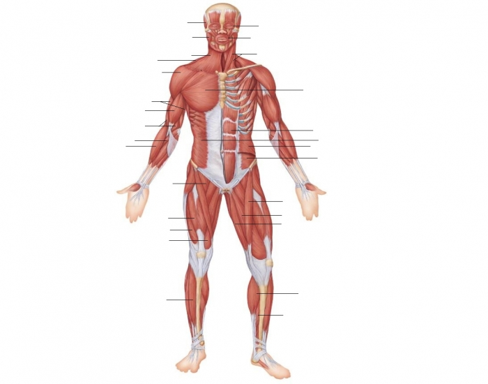 Anterior View- Superficial Muscles of the Body - PurposeGames
