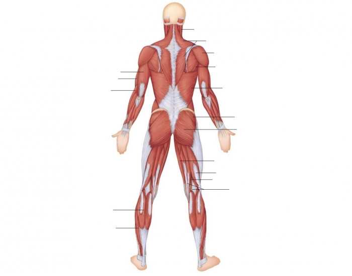 Posterior View - Superficial Muscles of the Body - PurposeGames