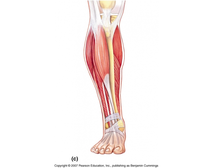 Muscles Of The Anterior Leg Quiz By Lolwut77