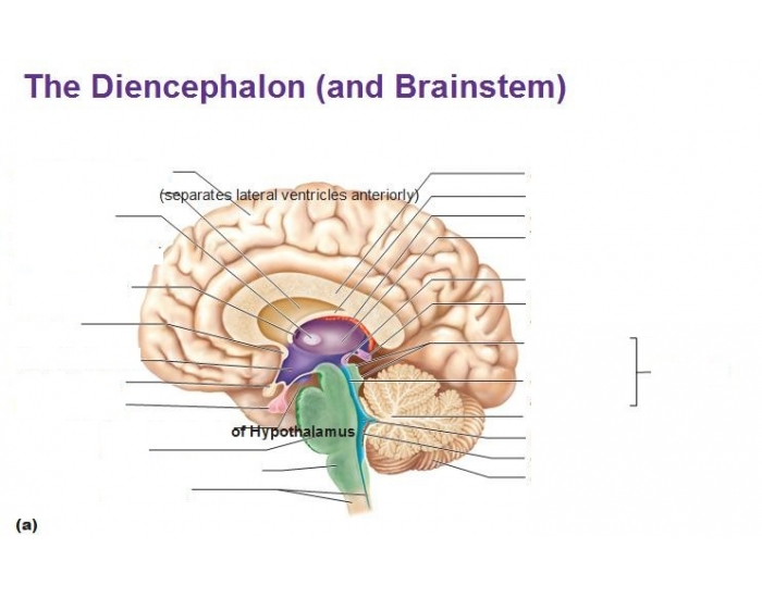 Game Statistics Diencephalon And Brain Stem Diagram Purposegames