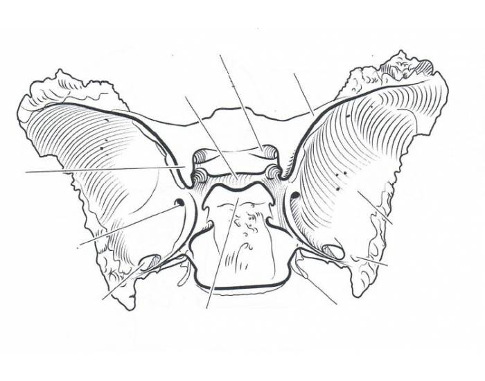 sphenoid bone, Human Body