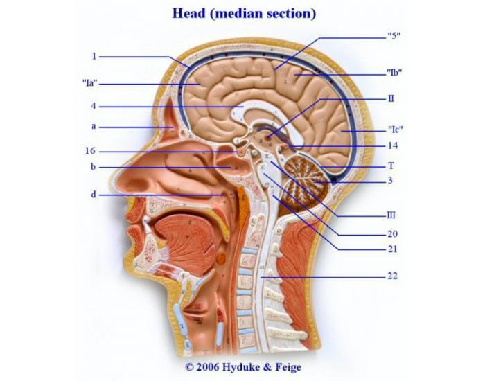 3989987 as well Section 6 as well Group Ik1 moreover General Anatomy 19 B additionally Medical exhibits image. on diencephalon in stem sagittal view labeled