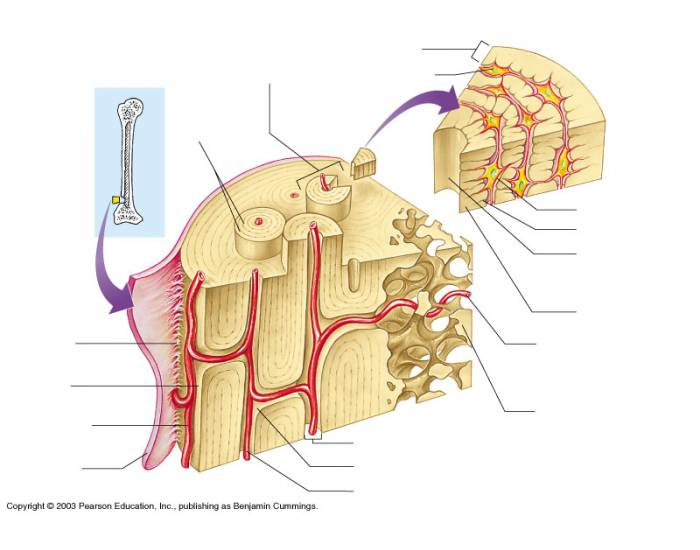 Learn: Anatomy of Bone (by mwhyett) - Memorize.com - Remember and ...