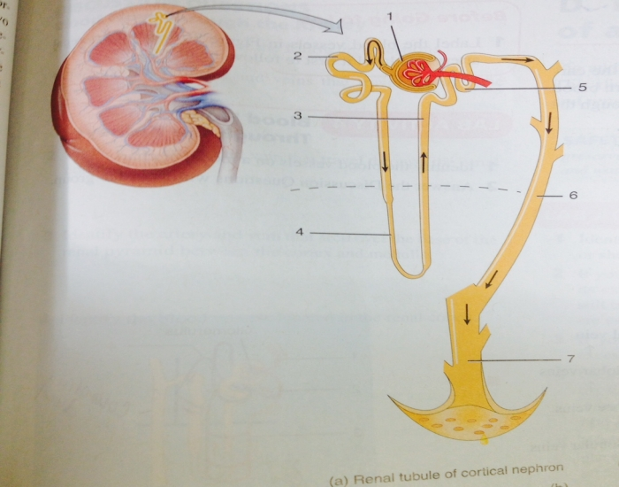 Renal Tubule of cortical nephron