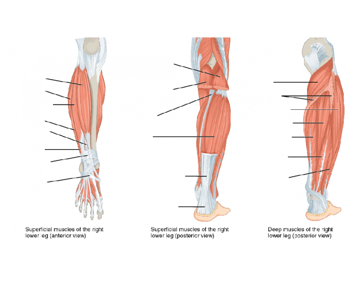 manual muscle testing lower extremity pdf