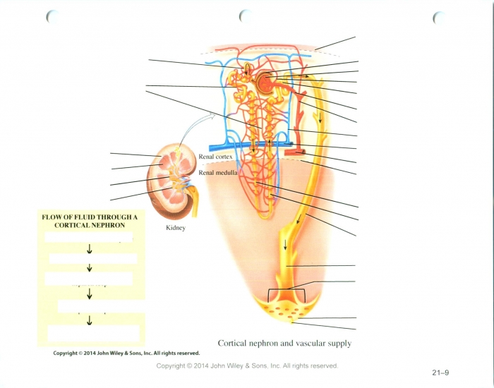 Game statistics cortical nephron purposegames cortical nephron ccuart Gallery