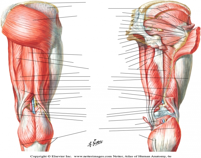 Posterior Thigh Muscle Anatomy Practical Game Purposegames