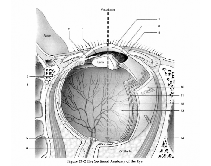 Figure 15 2 The Sectional Anatomy Of The Eye Purposegames