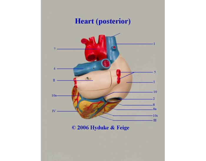 Posterior view of the heart