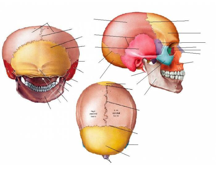 Cranial bones sutures purposegames ccuart Images