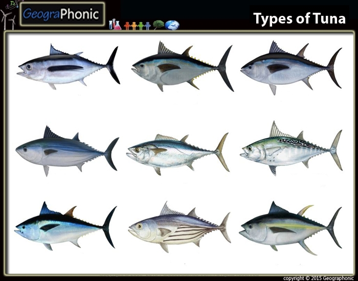 Types of Tuna