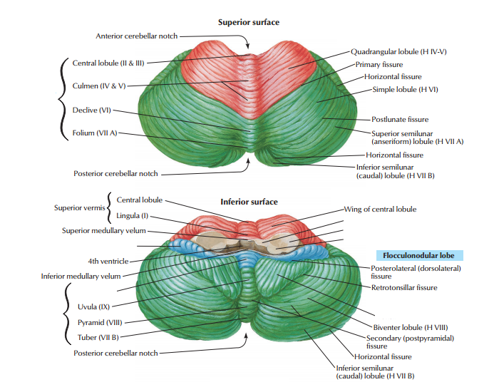 Cerebellum anatomy - PurposeGames