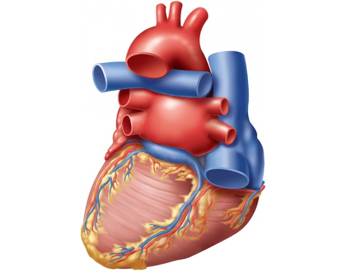External Heart Anatomy Quiz. BIOMED ALL INVITED: The Human Heart ...