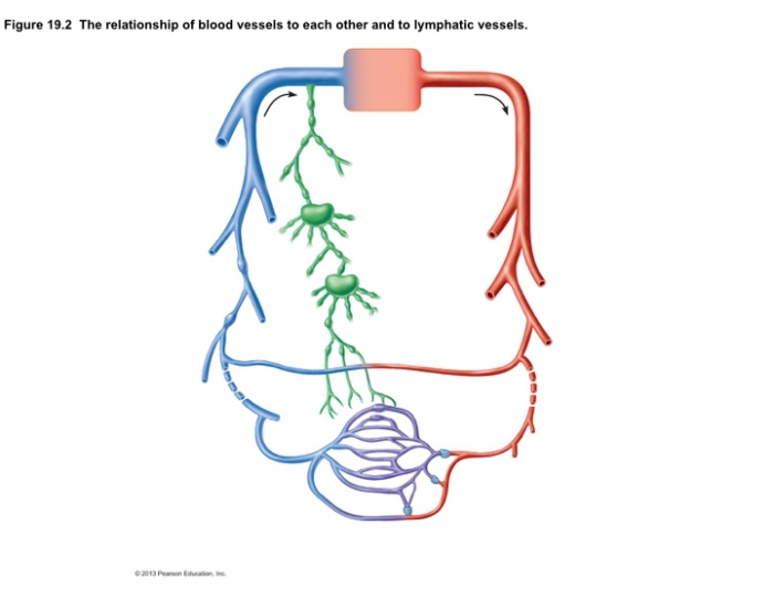 Venous System Arterial System