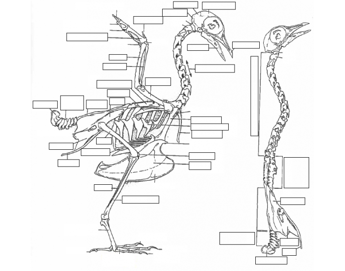 Game Statistics - Avian Skeletal Anatomy - PurposeGames