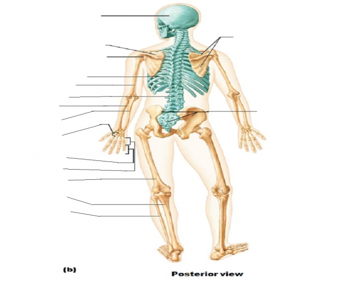 Can you Match the Bones to the Image?