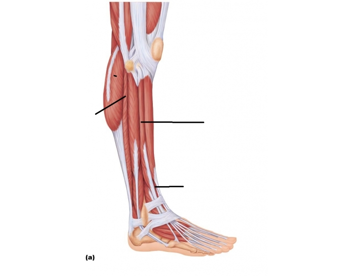 muscles lateral leg