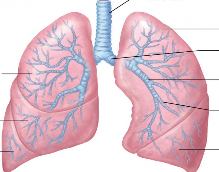 Structures of Lower Respiratory Tract - PurposeGames