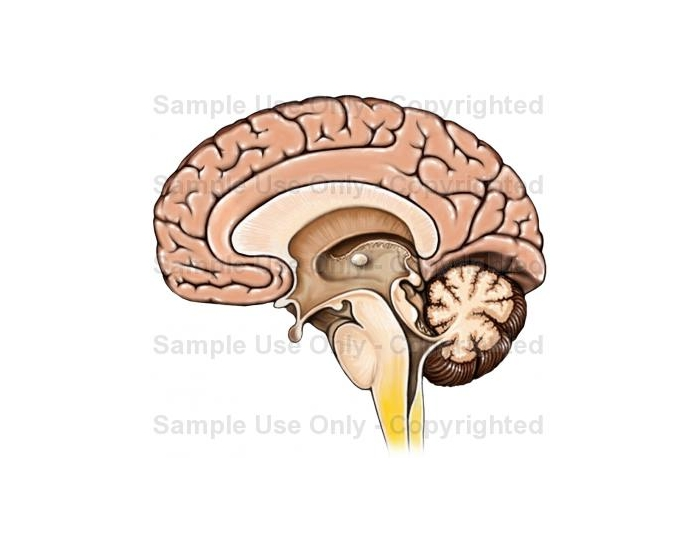 Label The Parts Of The Brain