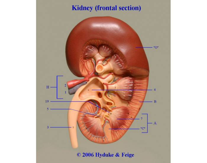 Frontal section of the Kidney