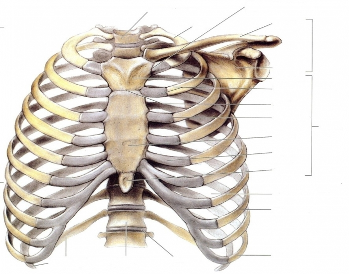 Diagram Of The Breast Bones  Bony Thorax