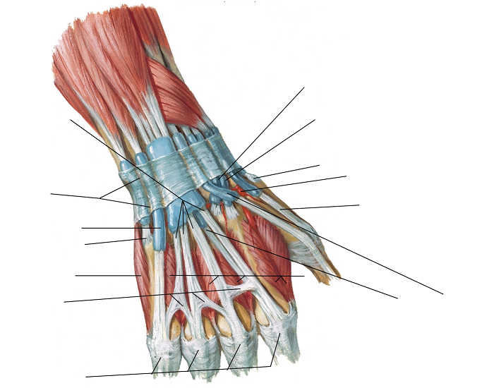 Extensor Tendons at Wrist (Posterior View)