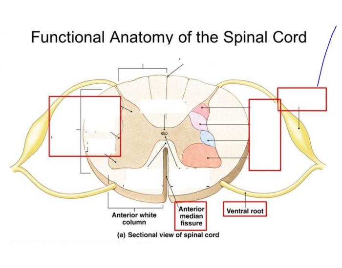 Functional Anatomy of the Spinal Cord** - PurposeGames