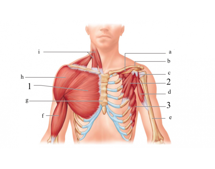 Muscles Of The Anterior Thorax Purposegames